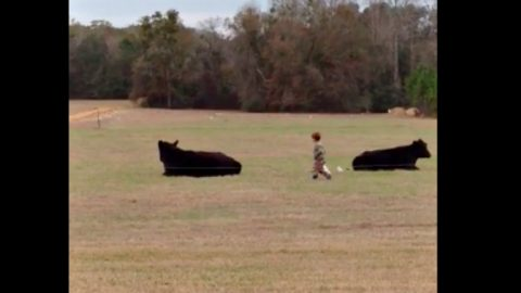 What Happens When Dad Dares 4-Year Old To Ride Steer Will Leave You In Stitches | Country Music Videos
