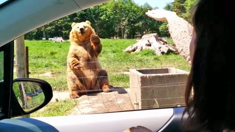 Just Wait Until You See What Happens After This Bear Gives Humans A Wave | Country Music Videos