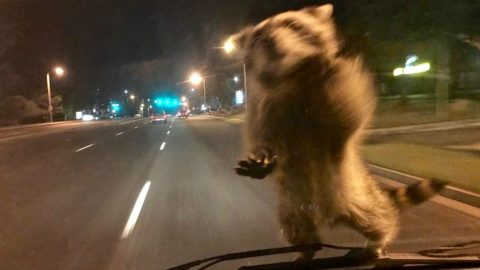 Adventurous Raccoon Hitches Ride On Windshield | Country Music Videos