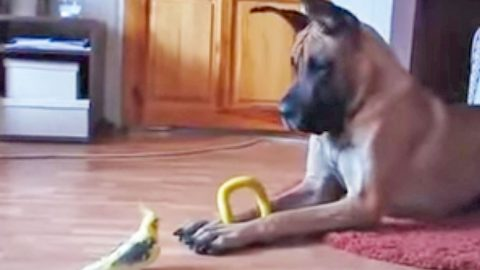 Great Dane Meets Bird. What Happens Next Will Keep You Laughing! (WATCH) | Country Music Videos