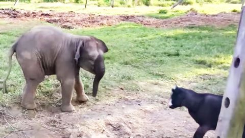 Baby Elephant Meets Goat For The First Time, His Reaction? Hysterical! | Country Music Videos
