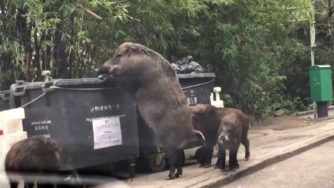 Gigantic Wild Boar Has The Internet Going Hog Wild | Country Music Videos