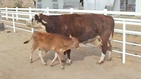 Emotional Reunion Between Mother Cow And Her Calf Will Have Y'all In Tears | Country Music Videos