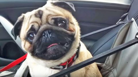 This Adorable Pug LOSES IT When He Finds Out Where He's Going | Country Music Videos