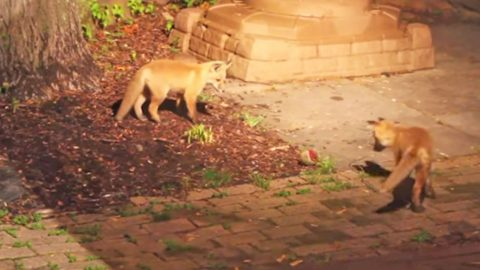 These Two Sneaky Baby Fox Friends Will Make Your Day!   Country Music Videos