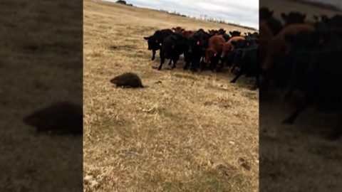You Won't Believe What Unlikely Animal Herded 150 Cows Before A Farmer's Eyes   Country Music Videos