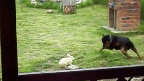 Rottweiler Finds Bunny In Backyard And Does The Unexpected ...