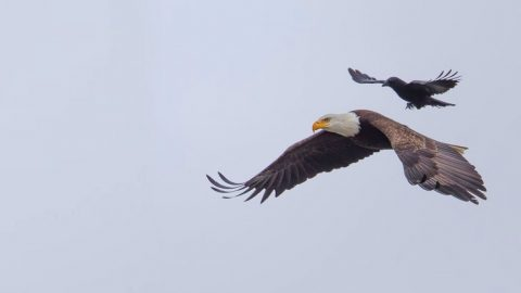 Be Amazed As This Crow Gets Patriotic And Hitches A Ride On A Soaring Bald Eagle! | Country Music Videos