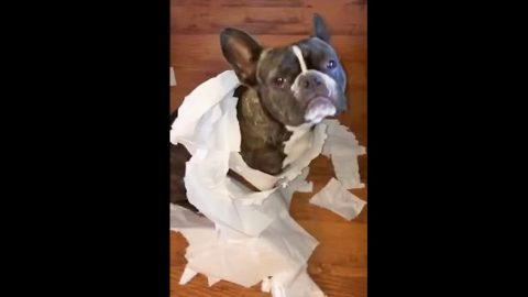 You Won't Believe Who Blames This French Bulldog For Making A Mess! | Country Music Videos