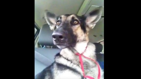 Dance Party? You Have To See This German Shepherd's RIDICULOUS Moves (WATCH)   Country Music Videos