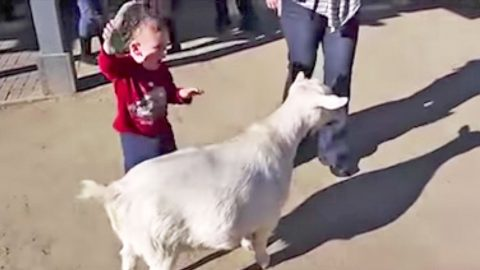 Goat's Loud Fart Scares The Daylights Out Of Little Kid | Country Music Videos