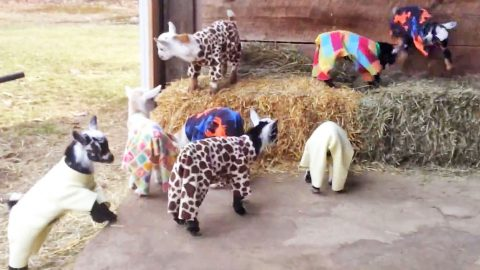 This Video Of A Baby Goat Pajama Party Is Exactly What You Need Today | Country Music Videos