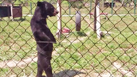 Y'all Will Be Laughing Out Loud When You See This Bear Walking Around Like… A Human!   Country Music Videos