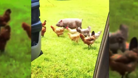 Farm Animals Take On Latest Internet Craze – And Win   Country Music Videos