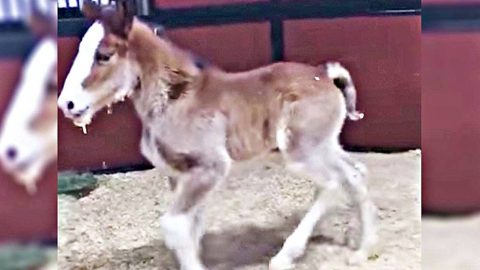 Budweiser Welcomes First Baby Clydesdale Of The Year | Country Music Videos