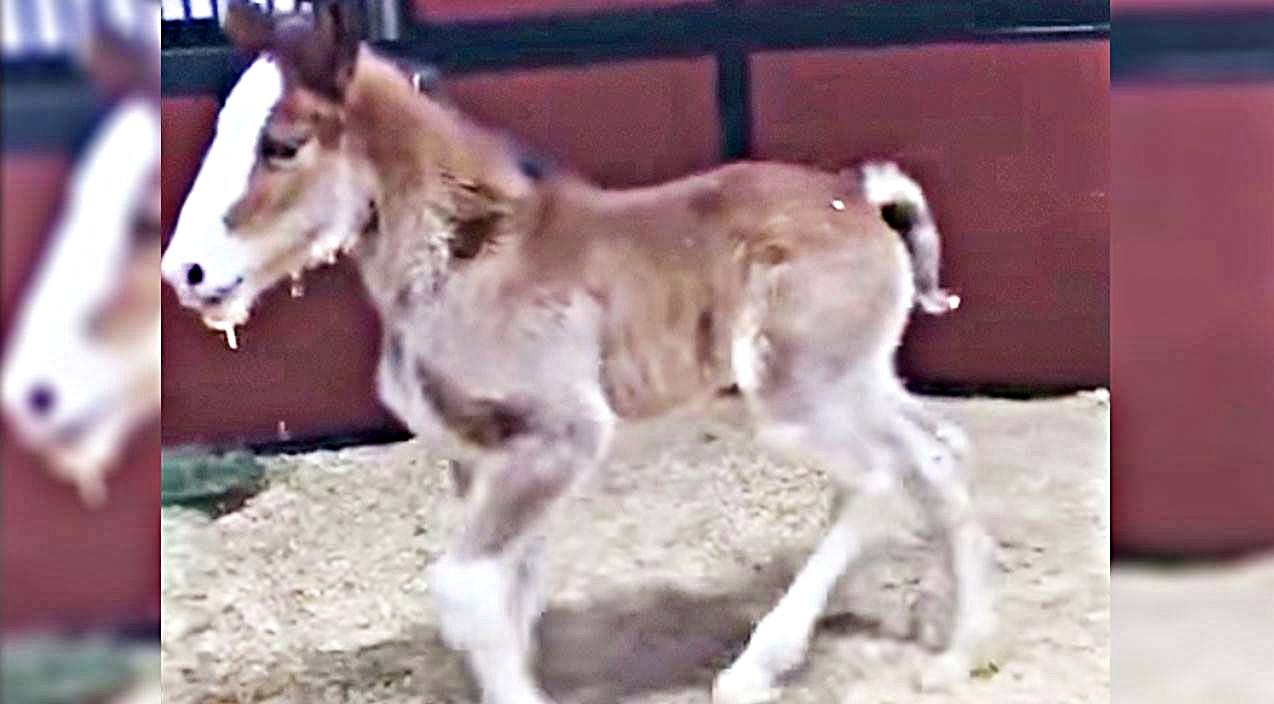 Budweiser Welcomes First Baby Clydesdale Of The Year