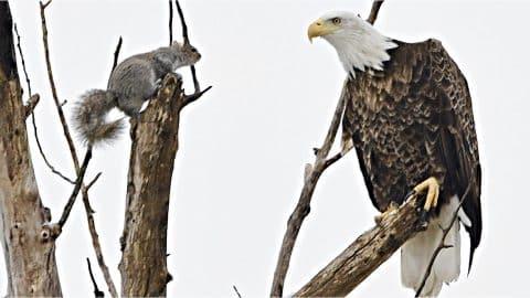 Photos Show Intense Showdown Between Bald Eagle & Squirrel | Country Music Videos