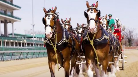 Beloved Budweiser Clydesdales Lap Around Churchill Downs Before Kentucky Derby | Country Music Videos