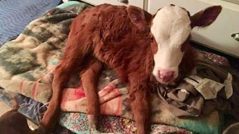 Rescued Baby Cow Now Sleeps In The House On Dog Bed | Country Music Videos