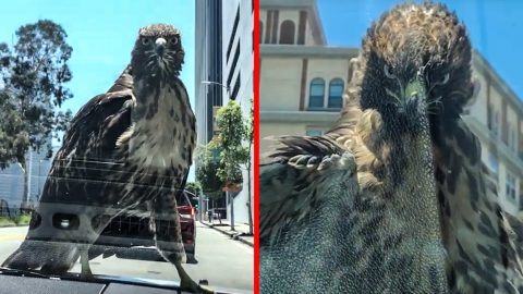 Incredible Video Of Hawk Riding On Hood Of Car | Country Music Videos