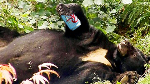 Bear Steals 36 Beers From Campers, Gets Drunk & Passes Out Until Rangers Come | Country Music Videos