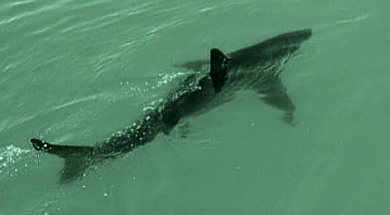 Baby Obliviously Swim With Sharks