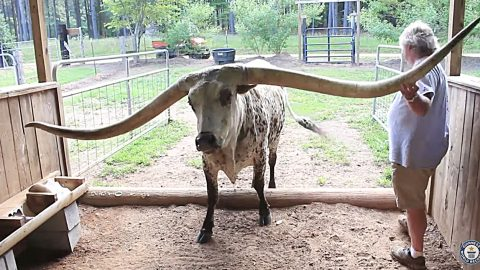 Longhorn Steer Breaks Guinness World Record For Largest Horn Spread – Guess How Long? | Country Music Videos