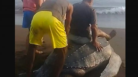 People Torture Sea Turtle By Riding On Her Back After She Laid Eggs | Country Music Videos