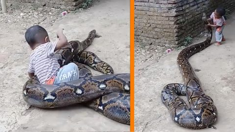 Toddler Plays On Giant Snake While Parents Film It – Video Is Insane | Country Music Videos