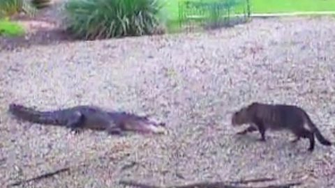 Small House Cat Fights Gator To Protect Territory | Country Music Videos