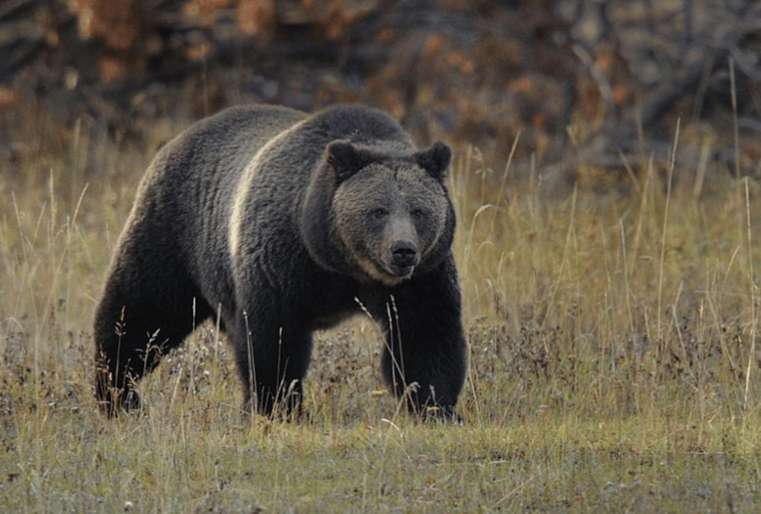 возраст, фото север медведя бурый глаз, прошедший термообработку