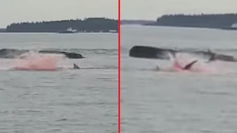 Captain Films Shark Attacking Seals Yesterday During Boating Tour | Country Music Videos