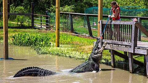 Largest Alligator In The U.S. Escaped After Tropical Storm Imelda | Country Music Videos