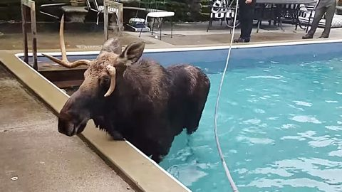 Moose Gets Stuck In Pool With No Way Out, Until Officials Arrive | Country Music Videos