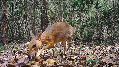 Mouse-Deer Thought To Be Extinct Found In Vietnam – It's The Size Of A Rabbit   Country Music Videos