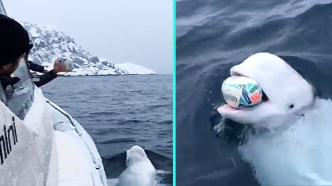 Wild Beluga Whale Plays Fetch With Boaters In Middle Of Arctic Ocean | Country Music Videos