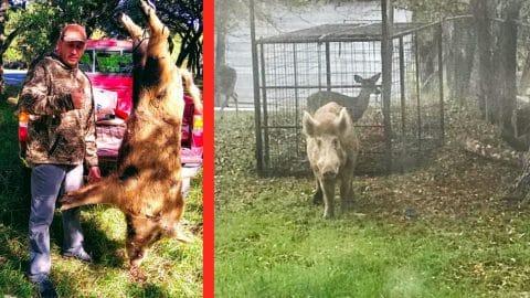 270-Pound Wild Boar Captured In Texas Yard   Country Music Videos