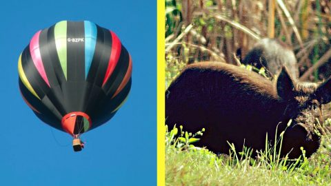 Texas Law Says Wild Hogs Can Be Hunted From Hot Air Balloons | Country Music Videos