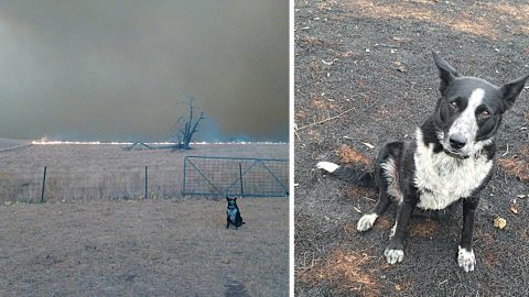 Farm Dog Saves Entire Flock Of Sheep From Australian Wildfire | Country Music Videos