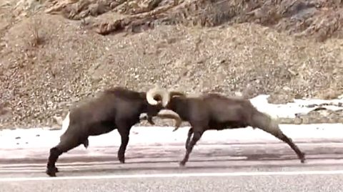 Rams Battle In Middle Of New Mexico Highway – Driver Stops To Record Them   Country Music Videos