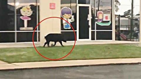 Wild Hog Runs Through Busy Texas Shopping Plaza | Country Music Videos