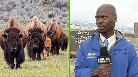 Video: Reporter Grabs Camera & Drives Off As Herd Of Bison Approach Him | Country Music Videos