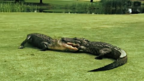 Video: Two Alligators Lock Jaws & Fight On 18th Hole Of Golf Course | Country Music Videos