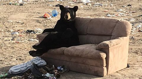 Bear Spotted With Legs Crossed & Arm Over Couch Relaxing At Garbage Dump | Country Music Videos