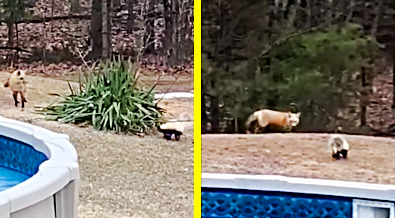 Skunk And Fox Become Unlikely Pals In Backyard Play ...