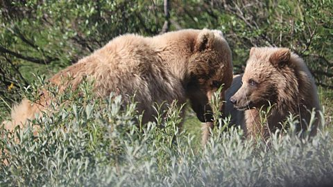 Woman Attacked By Mother Bear Protecting Cub At Yellowstone | Country Music Videos