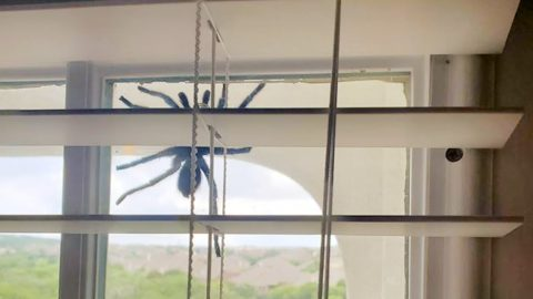 Tarantula Greets Family Who Recently Moved To San Antonio, Texas | Country Music Videos