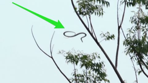 Mystery Solved: How Flying Snakes Glide Through The Air | Country ...