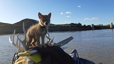 Rafter Rescued Coyote Pup From Drowning & Took It On An Adventure | Country Music Videos
