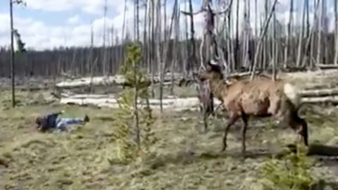 Elk Charges At Yellowstone Tourist After She Ventures Too Close | Country Music Videos